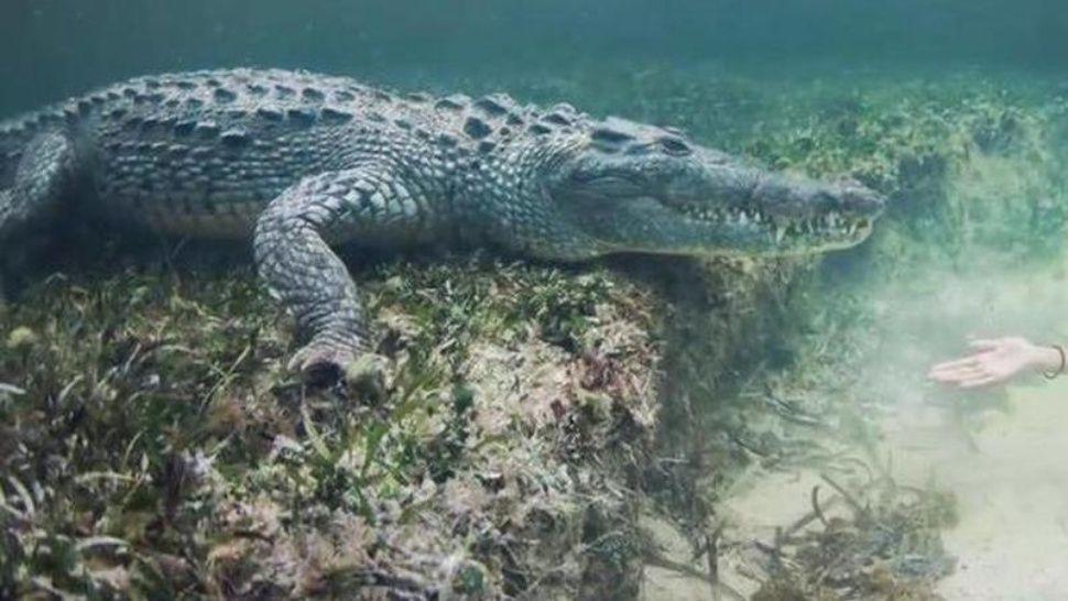 Graban a cocodrilo nadando con restos de hombre desaparecido